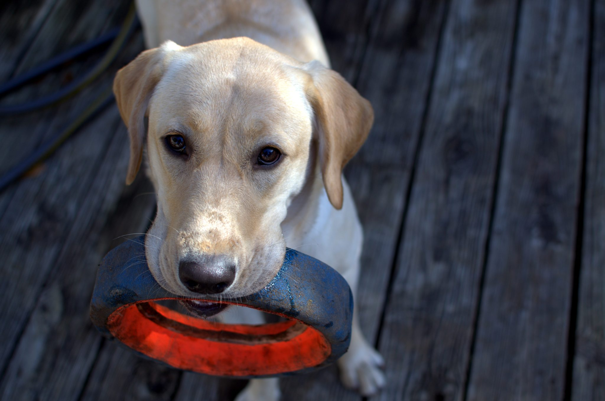 Training dogs to sniff out lung cancer nodules